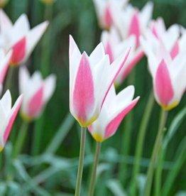 Tulip (Wild) Tulipa clusiana 'Lady Jane'