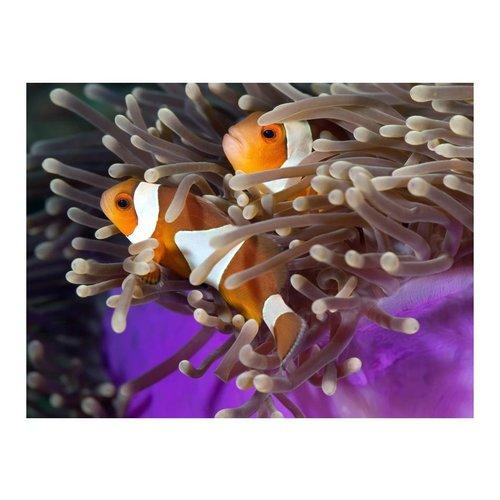 Fotobehang - Clownvis  , oranje wit , 5 maten