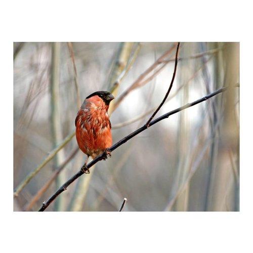 Fotobehang - Goudvink in het bos , rood