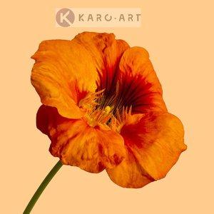 Karo-art Schilderij - Oranje klaproos op gele achtergrond