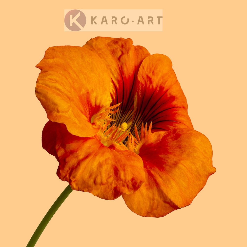 Schilderij - Oranje klaproos op gele achtergrond