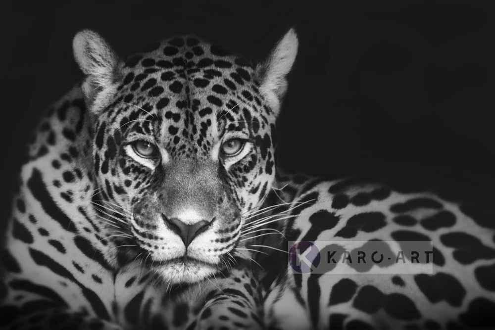 Schilderij - Jaguar in zwart en wit, premium print, 3 maten , Wanddecoratie