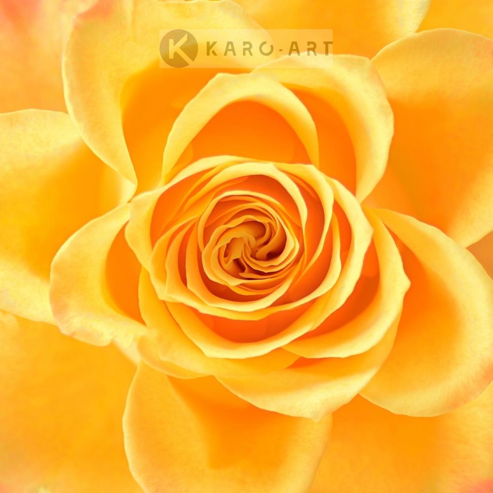 Schilderij - Roos in het geel, bloesem , 3 maten , Premium print , Wanddecoratie