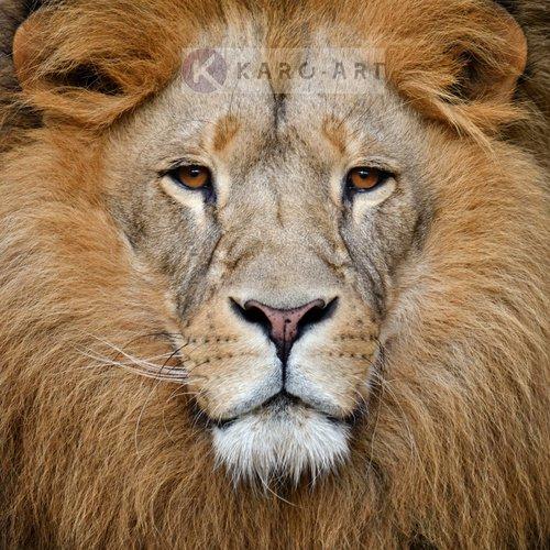 Karo-art Afbeelding op acrylglas - Portret van de Leeuw