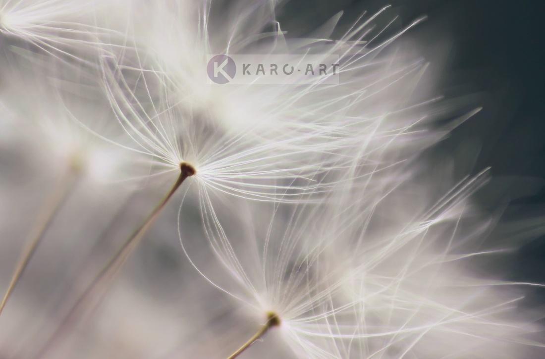 Afbeelding op acrylglas - Paardenbloem in de wind