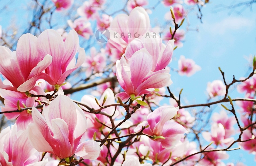 Afbeelding op acrylglas - Roze magnolia in volle bloei
