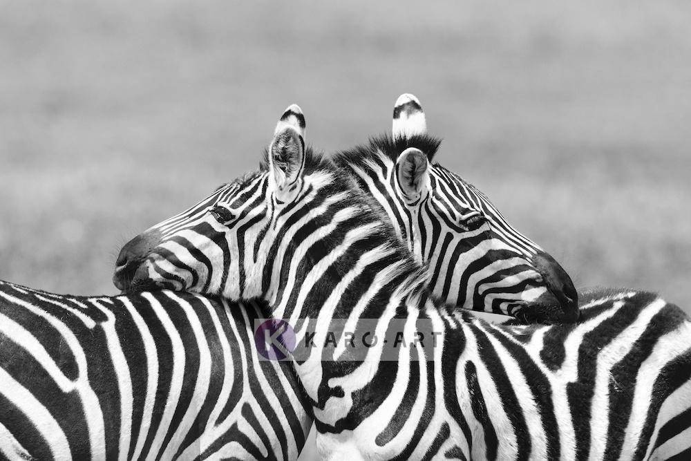 Afbeelding op acrylglas - Zebra liefde in zwart wit