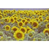 Karo-art Afbeelding op acrylglas - Veld vol zonnebloemen, digitale kunst.
