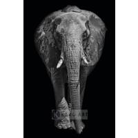 Schilderij - Afrikaanse olifant, zwart wit