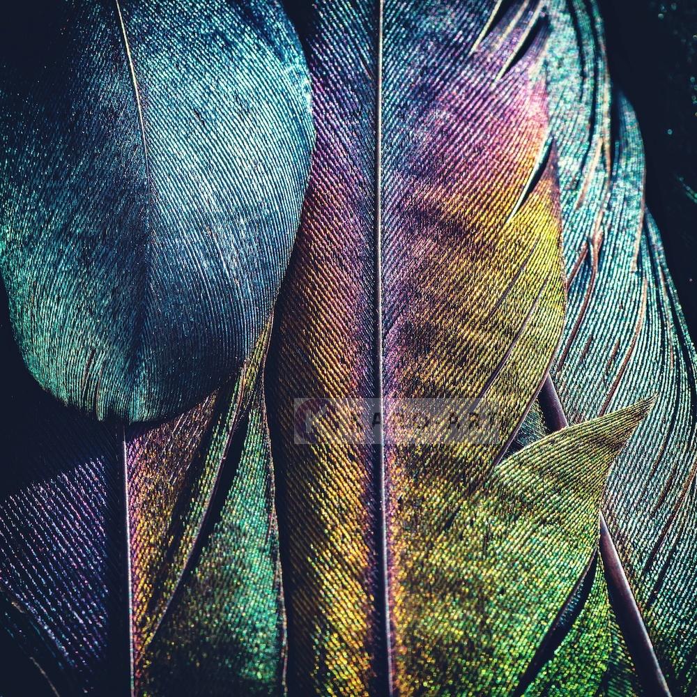 Afbeelding op acrylglas - Veren Pauw , Multikleur , 3 maten , Premium print