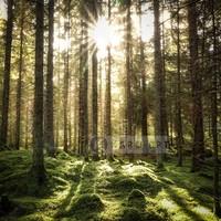 Karo-art Schilderij - Naaldhouten bos ,Groen bruin wit , 3 maten , Premium print