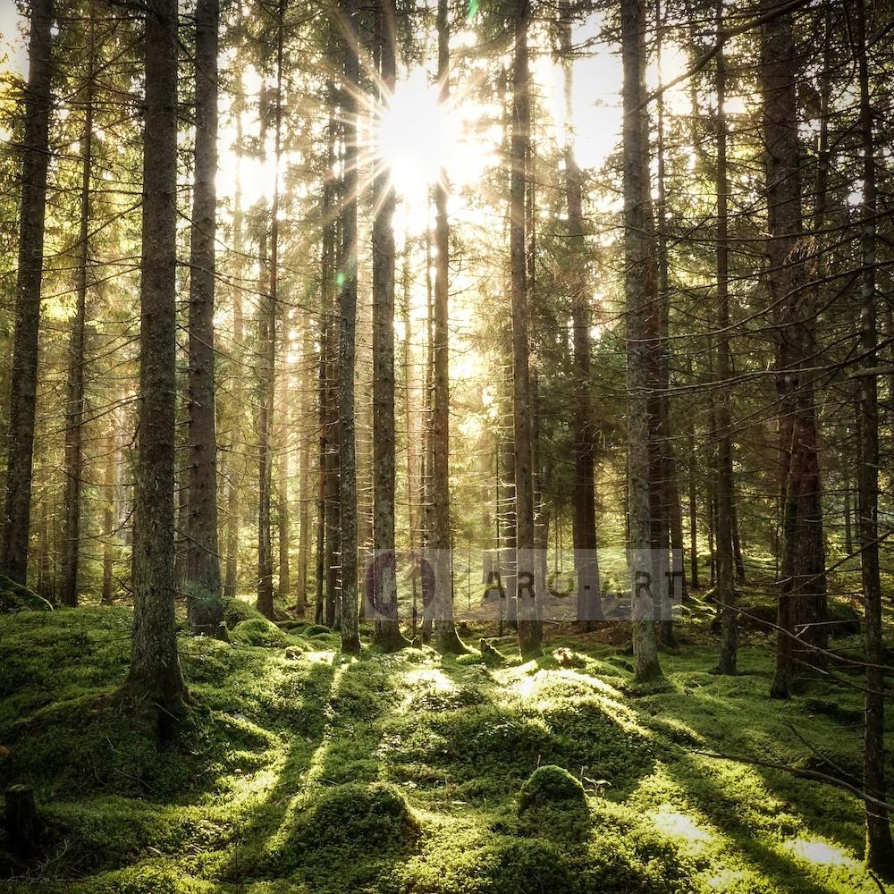 Schilderij - Naaldhouten bos ,Groen bruin wit , 3 maten , Premium print