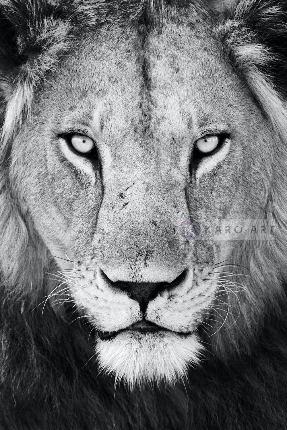 Schilderij - Leeuw