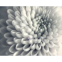 Karo-art Schilderij - Chrysant bloem , Zwart wit , 3 maten , Premium print