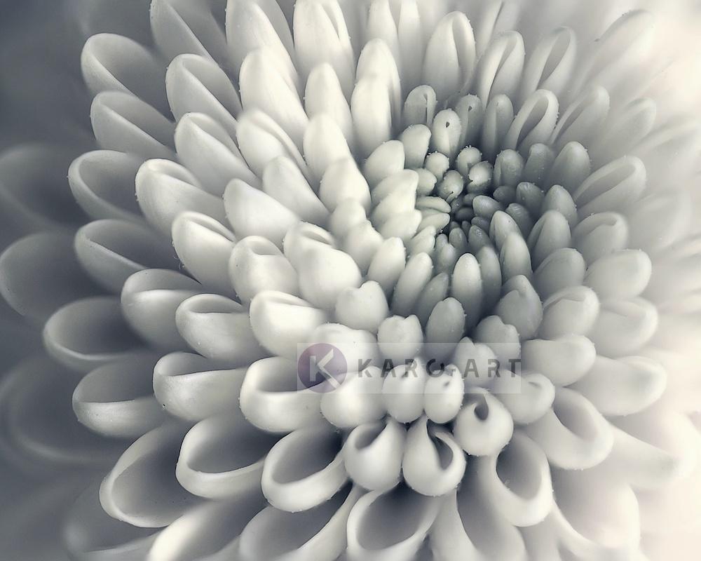 Schilderij - Chrysant bloem