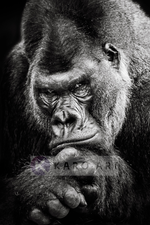 Schilderij - Gorilla , Zwart wit , 3 maten , Premium print