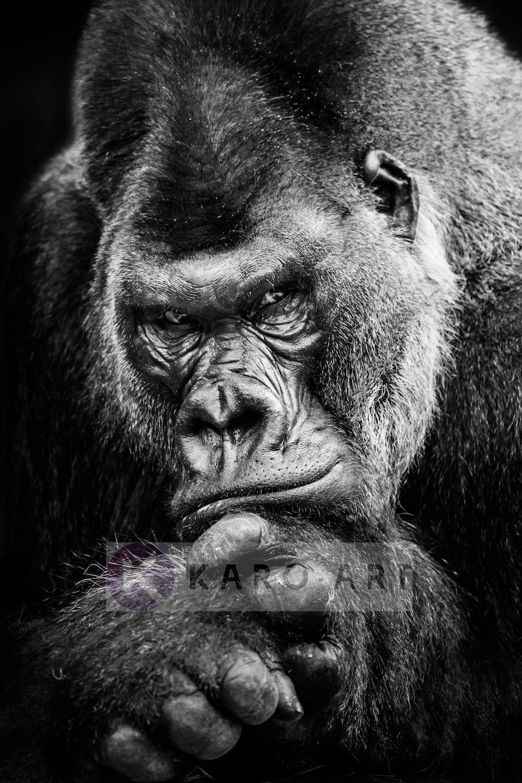 Afbeelding op acrylglas - Gorilla