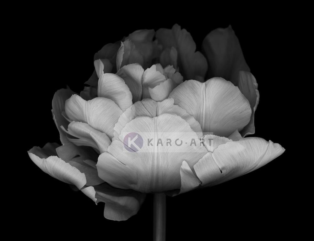 Schilderij - Dubbele Tulp , Zwart wit , 3 maten , Premium print