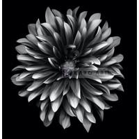 Karo-art Schilderij - Dahlia Zwart-Wit , 3 maten , Premium print