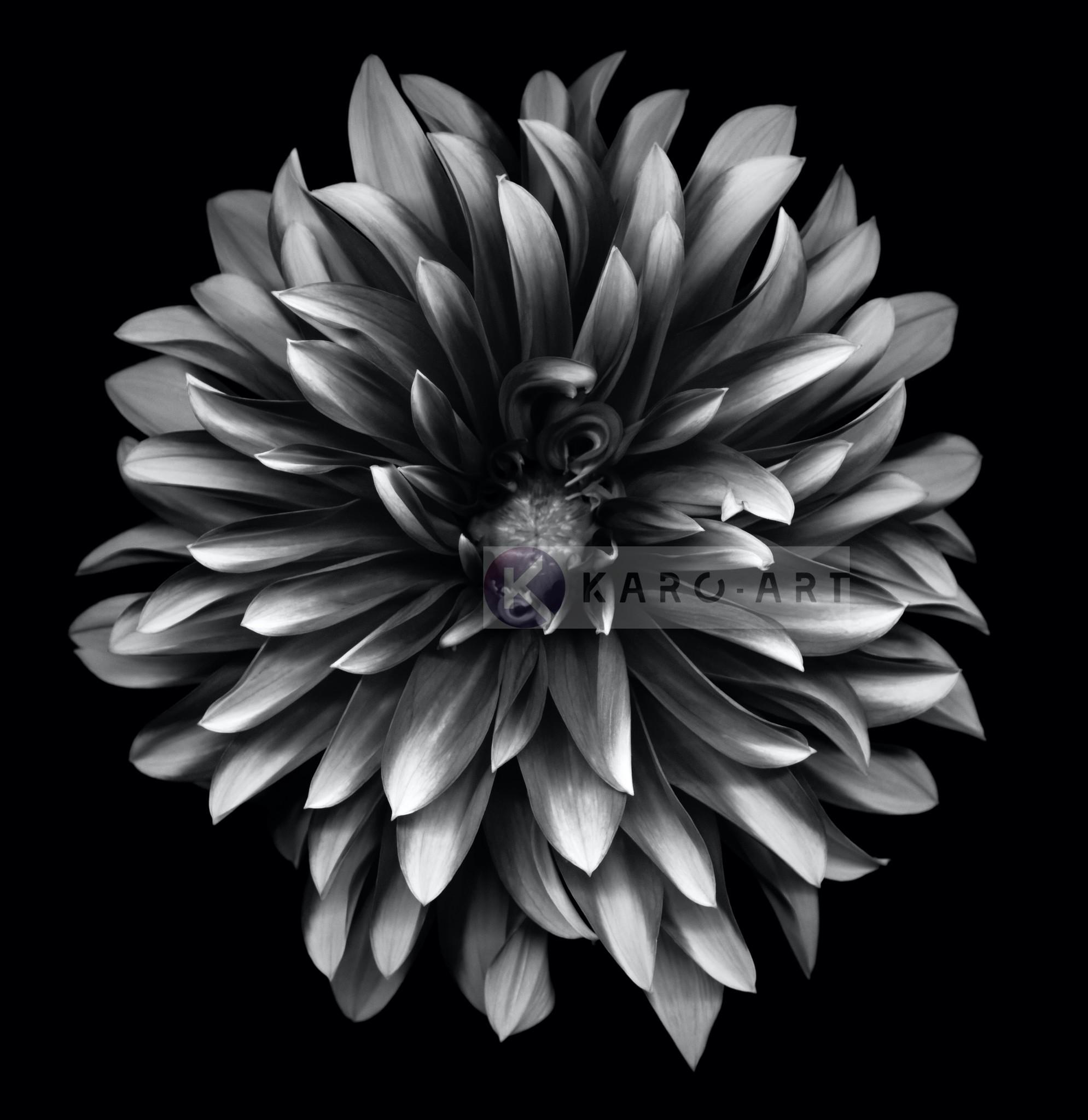Schilderij - Dahlia Zwart-Wit , 3 maten , Premium print