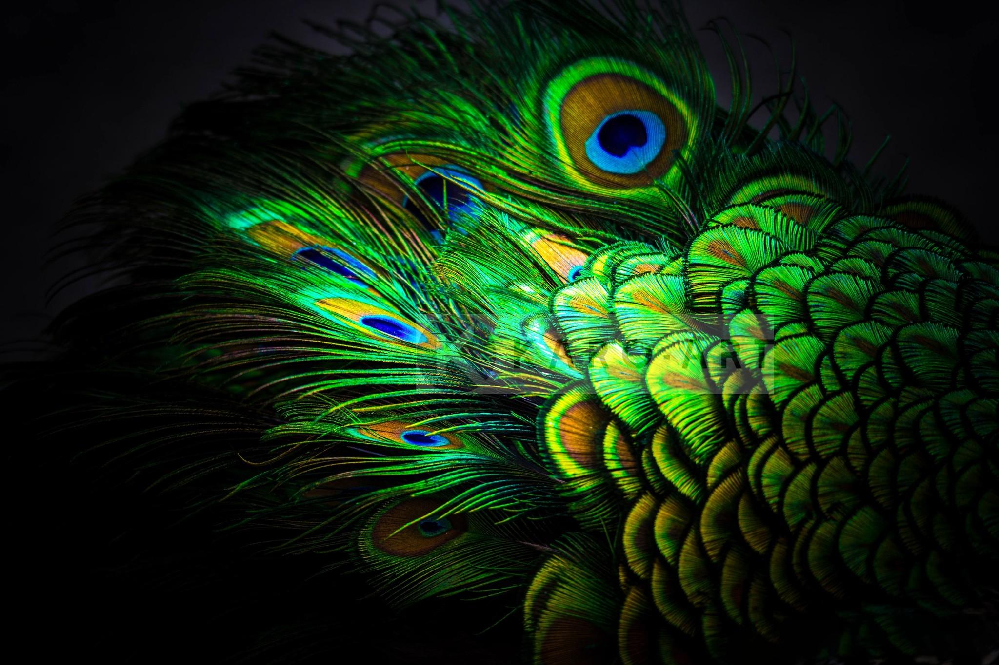 Schilderij - Pauw veren , Multikleur , 3 maten , Premium print