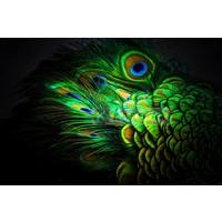 Karo-art Afbeelding op acrylglas - Pauw veren