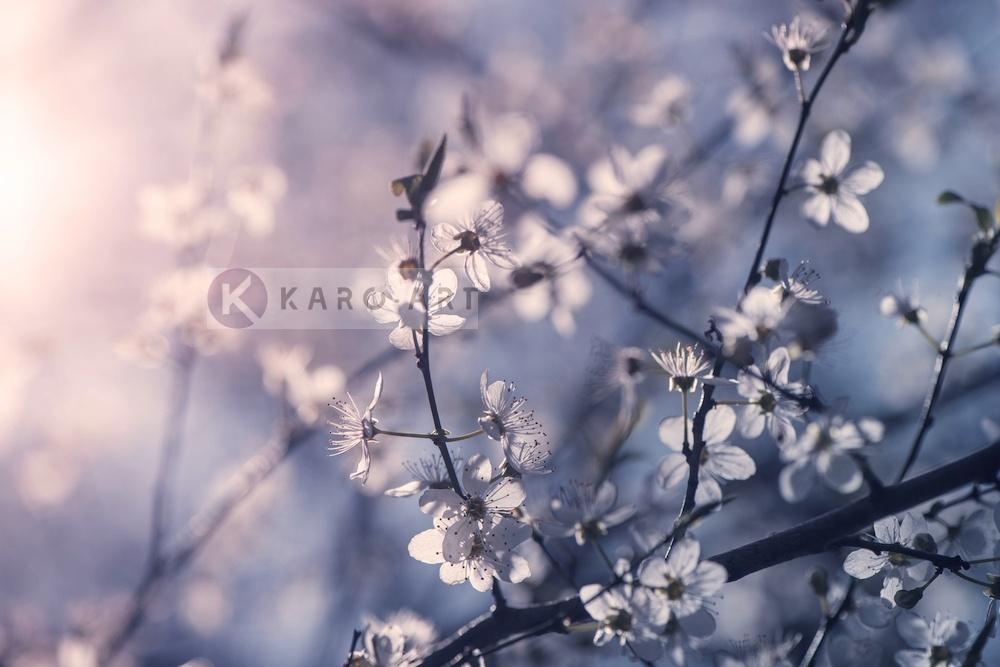 Karo-art Schilderij - Kersenbloesem Tak , Multikleur , 3 maten , Premium print