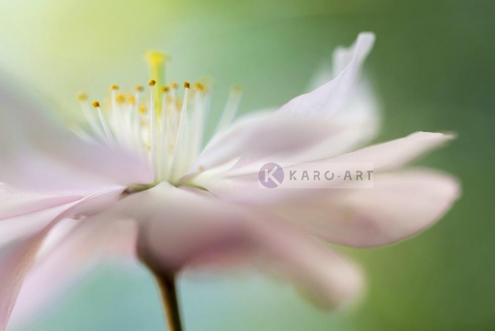 Karo-art Afbeelding op acrylglas - Zacht roze Kersenbloesem