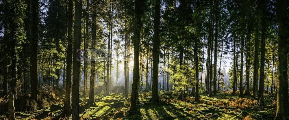 Schilderij - Panorama bos, groen/zwart, 2 maten , print op canvas, premium print