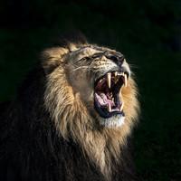 Karo-art Schilderij - Brullende leeuw in close up , Beige zwart , 3 maten , Premium Print
