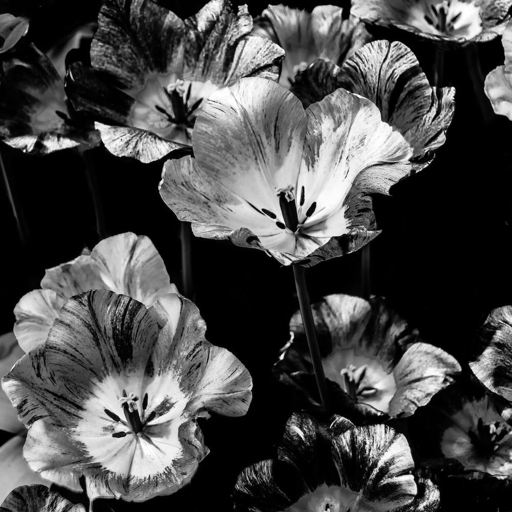 Schilderij - Bloemen Zwart-Wit ,3 maten , Wanddecoratie