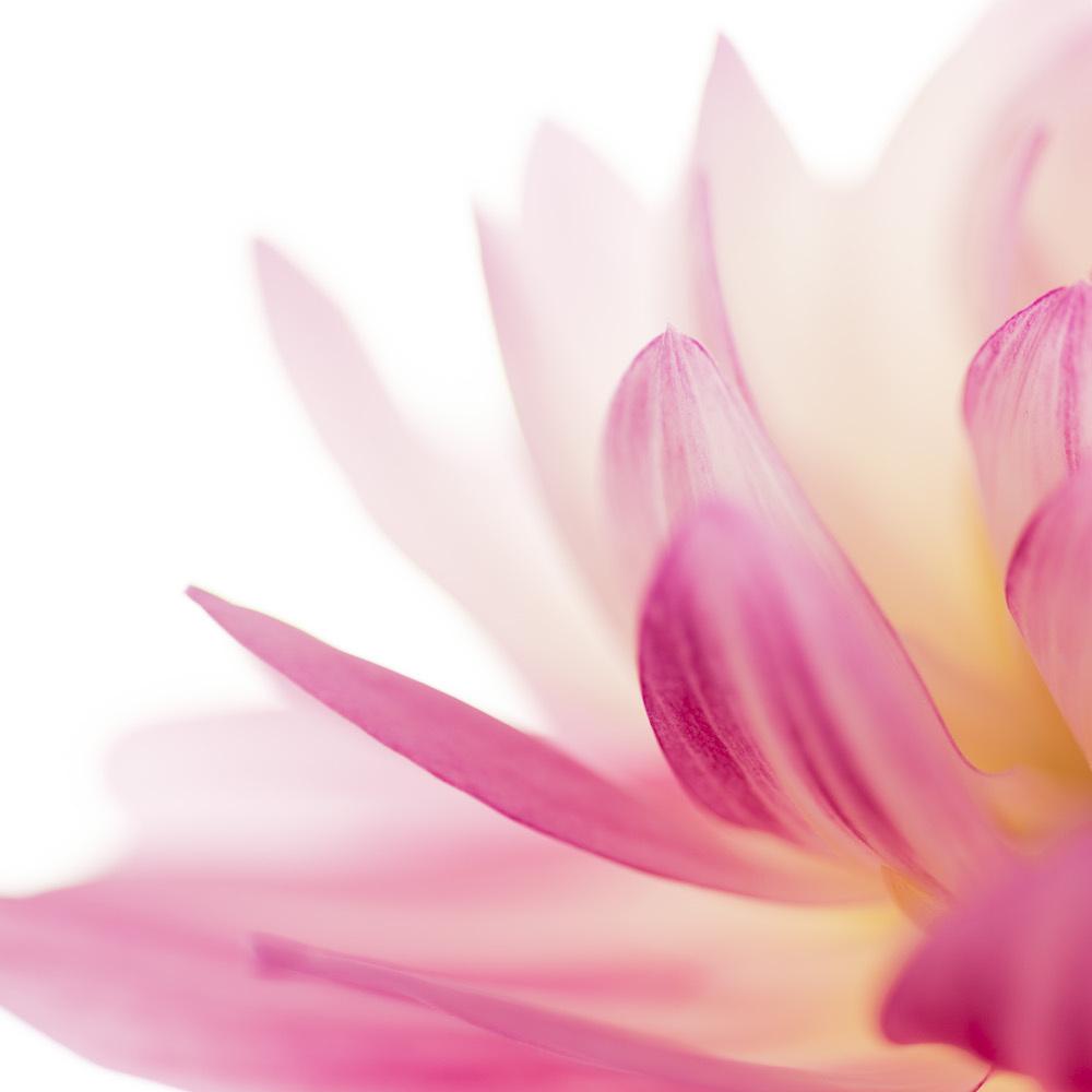 Schilderij - Lotus bloem in het roze