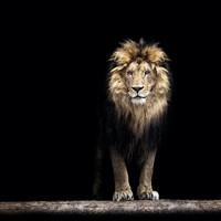 Karo-art Schilderij - Leeuw,  Koning van de jungle, Zwart/bruin ,3 maten , Premium Print