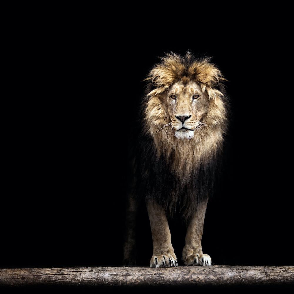 Schilderij - Leeuw, Koning van de jungle, Zwart/bruin
