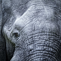 Karo-art Schilderij - Olifant, close up, grijs , 3 maten , Premium Print