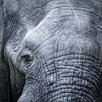 Karo-art Schilderij - Olifant, close up, grijs