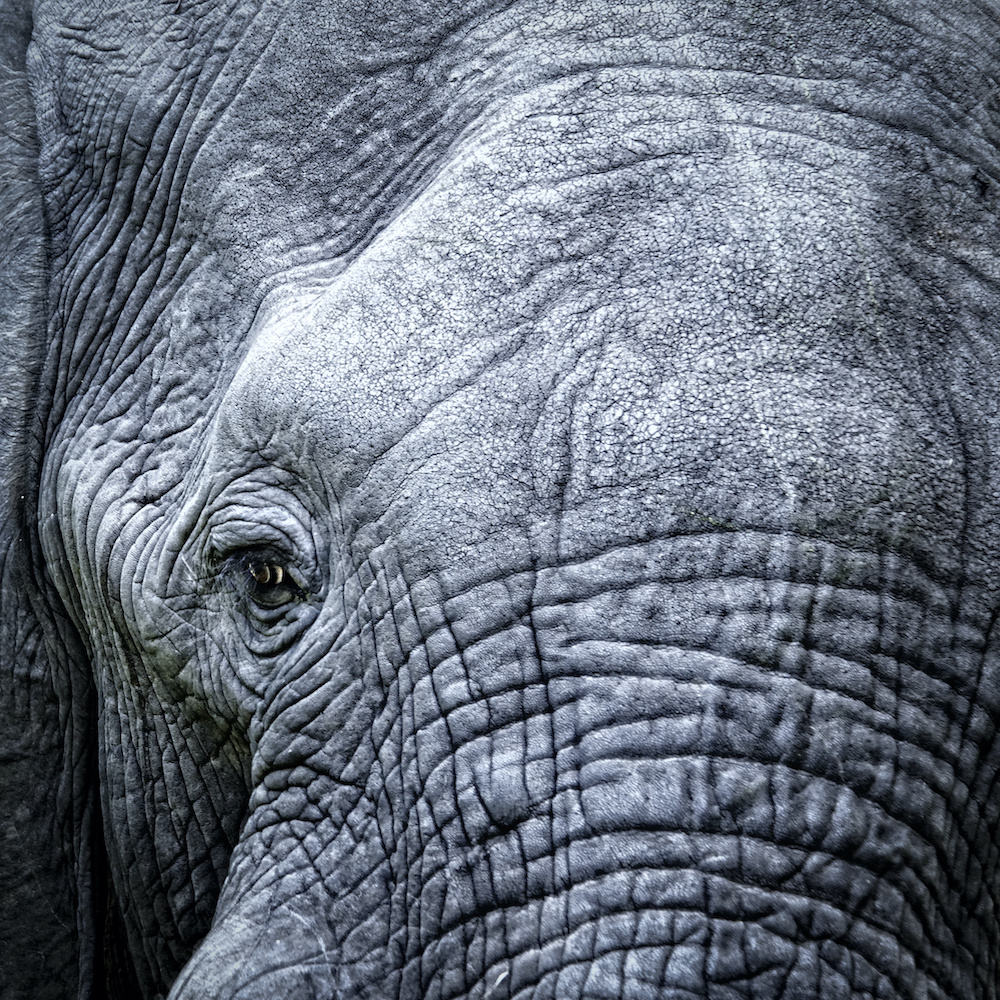 Schilderij - Olifant, close up, grijs , 3 maten , Premium Print