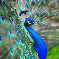 Karo-art Schilderij - Pauw, vol trots,  blauw/groen , 3 maten , Premium Print