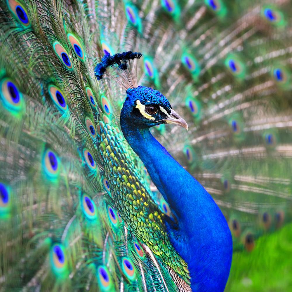 Schilderij - Pauw, vol trots, blauw/groen
