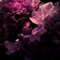 Karo-art Schilderij - Roze Pioen,  Roze zwart , 3 maten , premium print