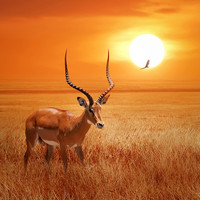 Karo-art Schilderij - Antilope in Afrika , Oranje bruin , 3 maten , Wanddecoratie