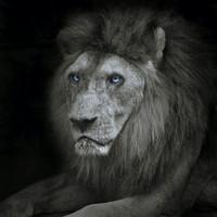 Karo-art Schilderij - Leeuw met blauwe ogen , Zwart wit , 3 maten , Wanddecoratie