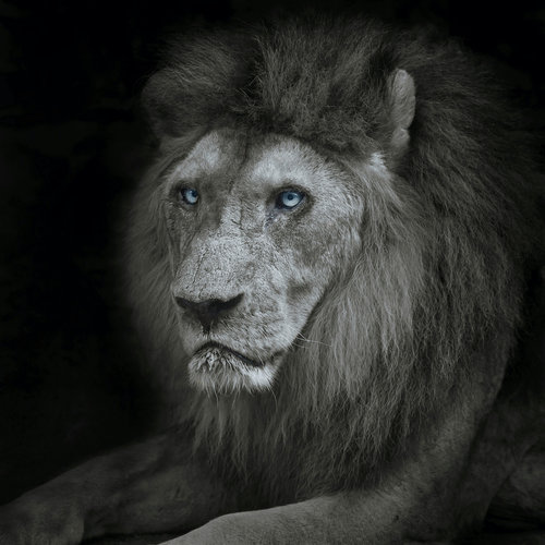 Karo-art Schilderij - Leeuw met blauwe ogen