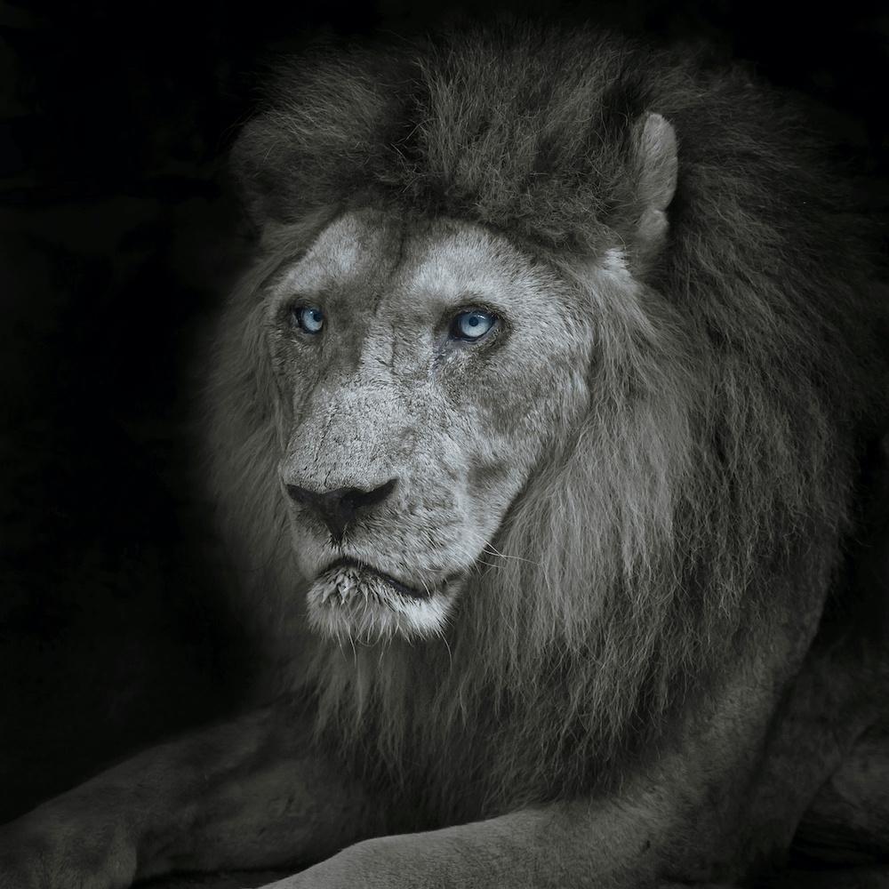 Schilderij - Leeuw met blauwe ogen