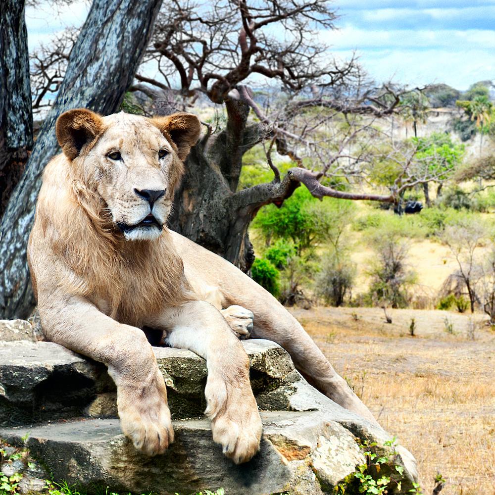 Schilderij - Leeuw in rust