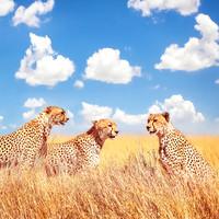 Karo-art Schilderij - Jachtluipaard in Afrika , Blauw wit oranje , 3 maten , Wanddecoratie
