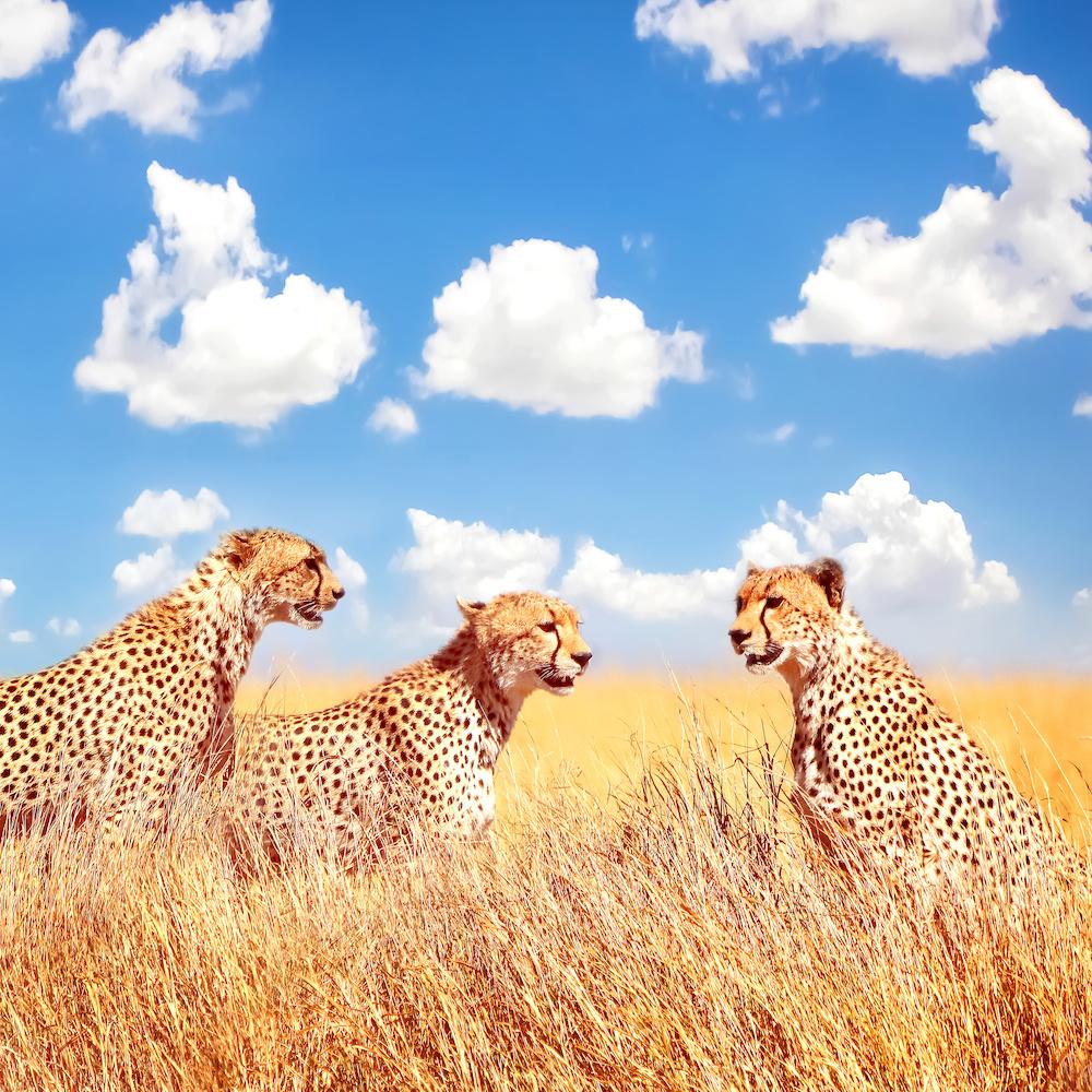 Schilderij - Jachtluipaard in Afrika