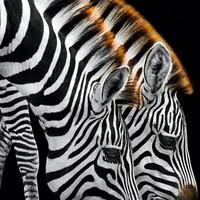 Karo-art Schilderij - Drinkende zebra's  , Zwart wit , 3 maten , Premium Print