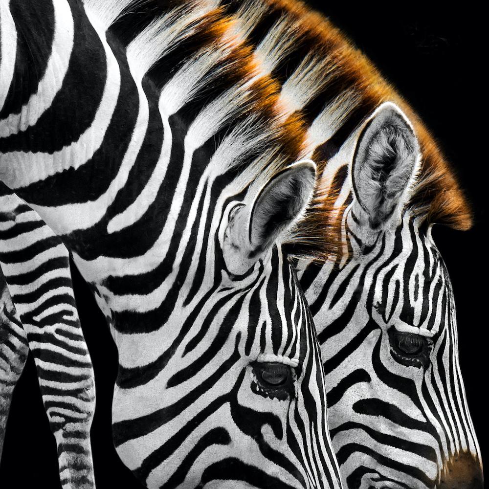 Schilderij - Drinkende zebra's