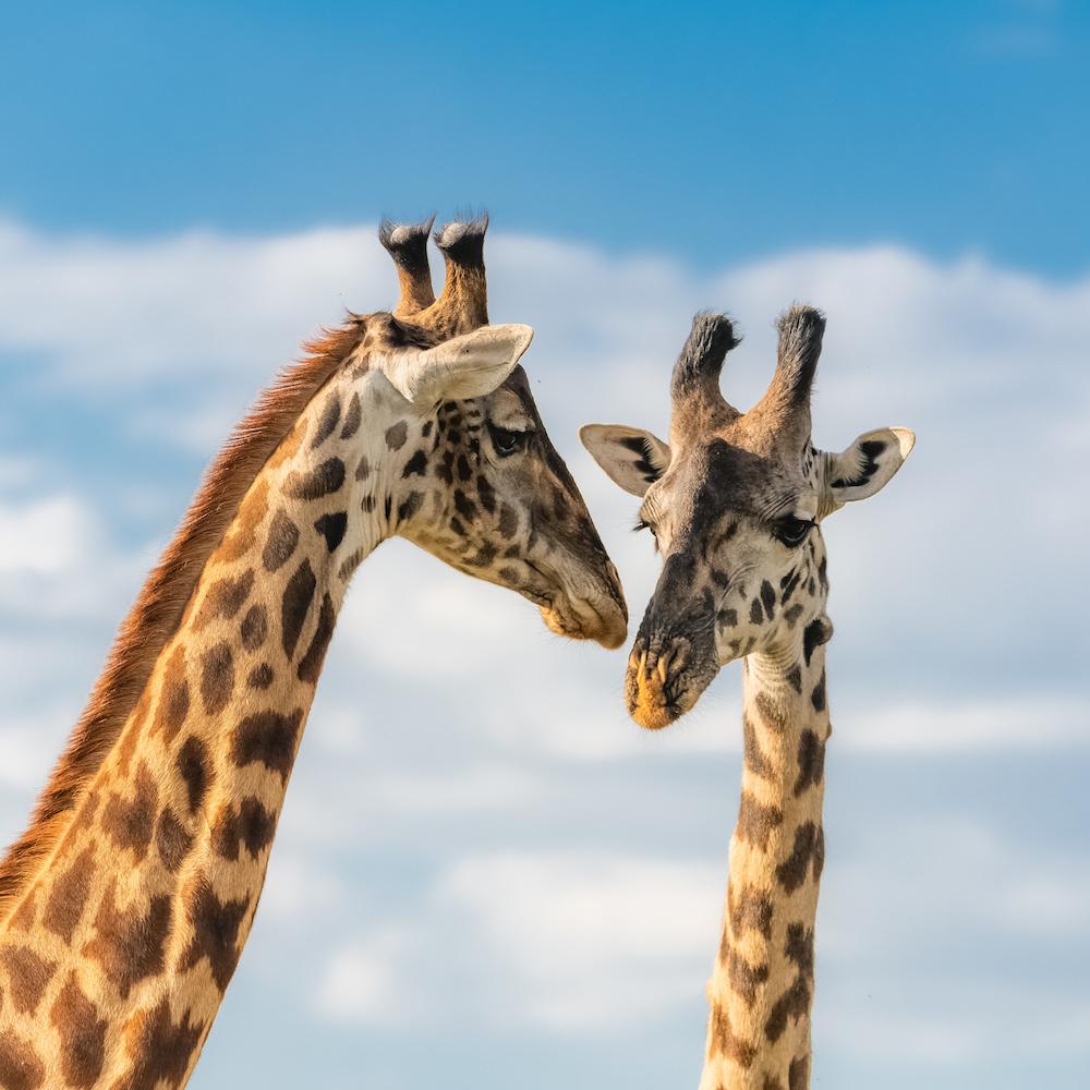 Schilderij - Giraffen